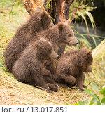 Купить «Four bear cubs looking in same direction», фото № 13017851, снято 15 декабря 2017 г. (c) PantherMedia / Фотобанк Лори