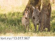 Купить «Mother and baby zebra side-by-side in shade», фото № 13017967, снято 17 июня 2019 г. (c) PantherMedia / Фотобанк Лори