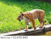 Купить «walking tiger», фото № 13019943, снято 29 мая 2012 г. (c) Юрий Брыкайло / Фотобанк Лори