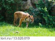 Купить «walking tiger», фото № 13020019, снято 29 мая 2012 г. (c) Юрий Брыкайло / Фотобанк Лори