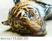 Купить «resting tiger», фото № 13020131, снято 29 мая 2012 г. (c) Юрий Брыкайло / Фотобанк Лори