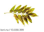 Купить «dry fallen ash tree leaf», фото № 13030399, снято 7 октября 2015 г. (c) Syda Productions / Фотобанк Лори