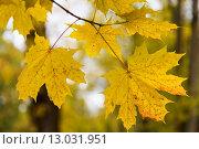 Купить «close up of maple tree leaves on brunch outdoors», фото № 13031951, снято 9 октября 2015 г. (c) Syda Productions / Фотобанк Лори