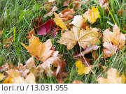 Купить «close up of fallen maple leaves on grass», фото № 13031955, снято 9 октября 2015 г. (c) Syda Productions / Фотобанк Лори