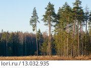 Купить «Осенний лес. Сосны», фото № 13032935, снято 6 ноября 2015 г. (c) Сергей Неудахин / Фотобанк Лори