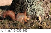 Купить «Белочка в лесу», видеоролик № 13033143, снято 6 ноября 2015 г. (c) Яна Королёва / Фотобанк Лори