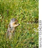 Купить «Колумбийский суслик  (Urocitellus columbianus) стоит и ест семена травы осоки. Национальный парк Глейшер (англ. Glacier National Park), штат Монтана, США», фото № 13042639, снято 2 августа 2015 г. (c) Ирина Кожемякина / Фотобанк Лори