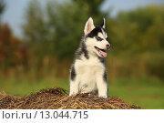Щенок хаски сидит на сухой траве. Стоковое фото, фотограф Савчук Алексей / Фотобанк Лори