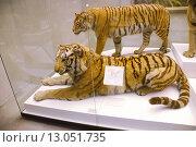Купить «Чучело тигра в Дарвиновском музее. Москва», эксклюзивное фото № 13051735, снято 26 июля 2014 г. (c) Галина Шорикова / Фотобанк Лори