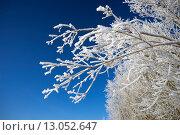 Купить «Белоснежные ветви на фоне синего неба», фото № 13052647, снято 11 ноября 2015 г. (c) Алексей Маринченко / Фотобанк Лори
