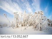 Купить «Растение бессмертник в инее», фото № 13052667, снято 12 ноября 2015 г. (c) Алексей Маринченко / Фотобанк Лори