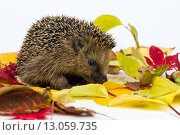 Купить «Little Hedgehog sitting on autumn leaves», фото № 13059735, снято 20 июня 2019 г. (c) PantherMedia / Фотобанк Лори
