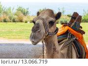 Навьюченный верблюд отдыхает, фото № 13066719, снято 25 июля 2015 г. (c) Евгений Ткачёв / Фотобанк Лори