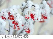 Купить «Рябина в инее», фото № 13070635, снято 16 ноября 2015 г. (c) Икан Леонид / Фотобанк Лори