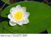 Купить «Белая кувшинка, или водяная лилия (лат. Nymphaea alba) в капельках дождя», фото № 13077591, снято 22 июня 2015 г. (c) Елена Коромыслова / Фотобанк Лори