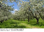 Купить «Москва. Цветущие яблони в Коломенском парке», эксклюзивное фото № 13078887, снято 20 мая 2015 г. (c) Елена Коромыслова / Фотобанк Лори
