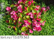 Купить «Бегония вечноцветущая (лат. Begonia semperflorens)», эксклюзивное фото № 13079563, снято 13 июля 2015 г. (c) Елена Коромыслова / Фотобанк Лори