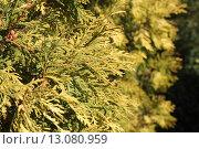 Туя западная желтая. Стоковое фото, фотограф Наташа Антонова / Фотобанк Лори