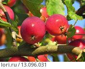 Купить «apple apples embellishment tafelapfel tafel», фото № 13096031, снято 22 января 2019 г. (c) PantherMedia / Фотобанк Лори