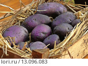 Купить «blue harvest potato violet potatoes», фото № 13096083, снято 26 марта 2019 г. (c) PantherMedia / Фотобанк Лори