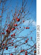 Яблоня с яблоками без листьев в ноябре. Стоковое фото, фотограф Мария Северина / Фотобанк Лори