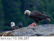 Купить «Bald Eagles on a rock, Skeena-Queen Charlotte Regional District, Haida Gwaii, Graham Island, British Columbia, Canada», фото № 13106287, снято 22 июля 2014 г. (c) Ingram Publishing / Фотобанк Лори