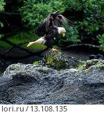 Eagle perching on rock. Стоковое фото, фотограф Keith Levit / Ingram Publishing / Фотобанк Лори