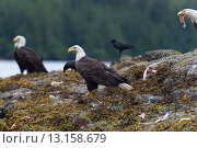 Купить «Bald Eagles on an island, Skeena-Queen Charlotte Regional District, Haida Gwaii, Graham Island, British Columbia, Canada», фото № 13158679, снято 22 июля 2014 г. (c) Ingram Publishing / Фотобанк Лори