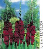 Купить «Gladiolus large_flowering Black Beauty», фото № 13163307, снято 25 июня 2018 г. (c) age Fotostock / Фотобанк Лори