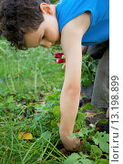 Купить «Young boy in a vegetable garden digging up radishes», фото № 13198899, снято 12 октября 2008 г. (c) age Fotostock / Фотобанк Лори