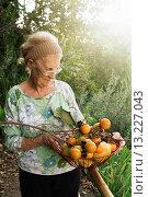 Купить «Senior woman in countryside with basket of persimmons during fall season», фото № 13227043, снято 22 июня 2018 г. (c) age Fotostock / Фотобанк Лори
