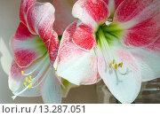 Купить «Red with white Amaryllis flowers», фото № 13287051, снято 28 марта 2014 г. (c) Юрий Брыкайло / Фотобанк Лори