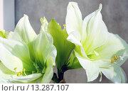 Купить «White Amaryllis flowers», фото № 13287107, снято 28 марта 2014 г. (c) Юрий Брыкайло / Фотобанк Лори