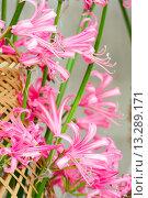 Купить «Hippeastrum flowers», фото № 13289171, снято 28 марта 2014 г. (c) Юрий Брыкайло / Фотобанк Лори