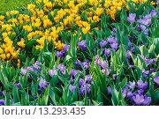 Купить «Spring variegated crocuses (macro)», фото № 13293435, снято 28 марта 2014 г. (c) Юрий Брыкайло / Фотобанк Лори