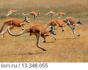 Red Kangaroo, macropus rufus, Australia, Group running. Стоковое фото, фотограф Gerard Lacz / age Fotostock / Фотобанк Лори