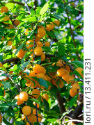 Купить «Orange cherry plum tree», фото № 13411231, снято 28 августа 2014 г. (c) Юрий Брыкайло / Фотобанк Лори