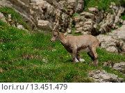 Купить «Swiss, Churfirsten, mammal, alps, animal, Artiodactyl, ruminat, Capricorn, beak, goatish, alps», фото № 13451479, снято 19 января 2020 г. (c) age Fotostock / Фотобанк Лори
