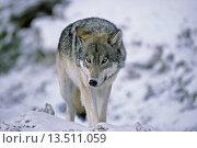Купить «An adult wild wolf walking on a trail toward the photographer.», фото № 13511059, снято 22 октября 2018 г. (c) age Fotostock / Фотобанк Лори