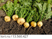 Купить «Turnip, organically grown  Scientific name: Brassica rapa, or Brassica campestris L», фото № 13560427, снято 27 мая 2020 г. (c) age Fotostock / Фотобанк Лори