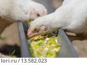 Купить «Подрастающие цыплята кур и индюков клюют корм в поддоне», фото № 13582023, снято 13 мая 2015 г. (c) Иванов Алексей / Фотобанк Лори