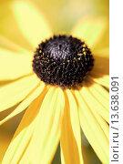 Купить «Rudbeckia fulgida Orange Coneflower is a perennial plant native to eastern North America.», фото № 13638091, снято 9 июля 2020 г. (c) age Fotostock / Фотобанк Лори