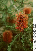 Купить «Heath_leafed banksia in Royal National Park, New South Wales Australia», фото № 13643827, снято 23 января 2020 г. (c) age Fotostock / Фотобанк Лори