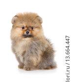 Купить «Pomeranian puppy isolated on a white background», фото № 13664447, снято 23 ноября 2015 г. (c) Сергей Лаврентьев / Фотобанк Лори