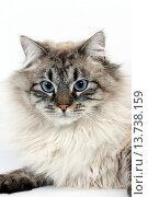 Купить «Seal Tabby Point Neva Masquerade Siberian Domestic Cat, Portrait of against White Background.», фото № 13738159, снято 20 февраля 2008 г. (c) age Fotostock / Фотобанк Лори