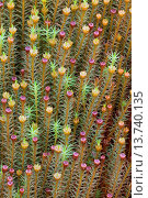 Купить «Hair cap moss (Polytrichum commune), Perichaetia, Germany, Schleswig-Holstein», фото № 13740135, снято 22 августа 2018 г. (c) age Fotostock / Фотобанк Лори