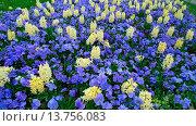 Купить «Pansy, Pansy Violet (Viola x wittrockiana, Viola wittrockiana, Viola hybrida), flower bed with white jacinthes and blue pansys», фото № 13756083, снято 20 ноября 2018 г. (c) age Fotostock / Фотобанк Лори