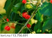 Купить «Hamilton's spindletree, Hamilton's spindle tree (Euonymus hamiltoniana, Euonymus hamiltonianus), with fruits», фото № 13756691, снято 16 июля 2018 г. (c) age Fotostock / Фотобанк Лори