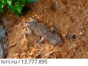 Купить «common wall gecko, Moorish gecko (Tarentola mauritanica), sitting on clay ground with the tail lost due to autotomy», фото № 13777895, снято 20 июня 2019 г. (c) age Fotostock / Фотобанк Лори