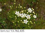 Купить «marsh grass-of-parnassus (Parnassia palustris), blooming, Germany», фото № 13782435, снято 16 октября 2018 г. (c) age Fotostock / Фотобанк Лори